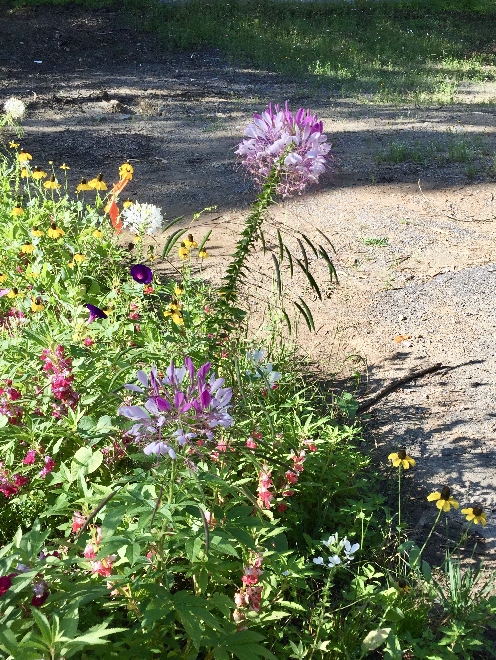 Wild flowers growing out of the ashes of where a building burned down at Arrowmont School of Arts.