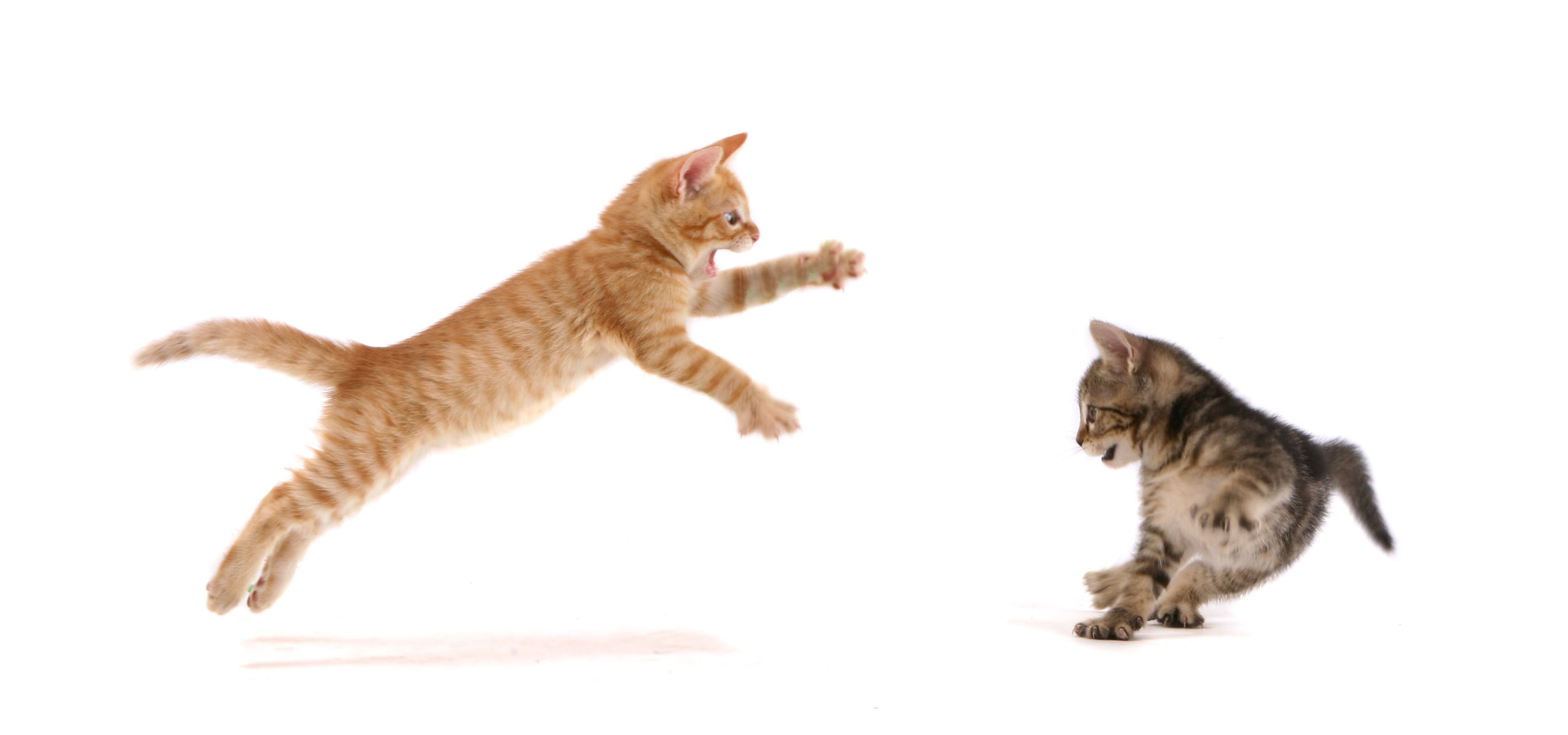 cats fight stop kittens play.jpg