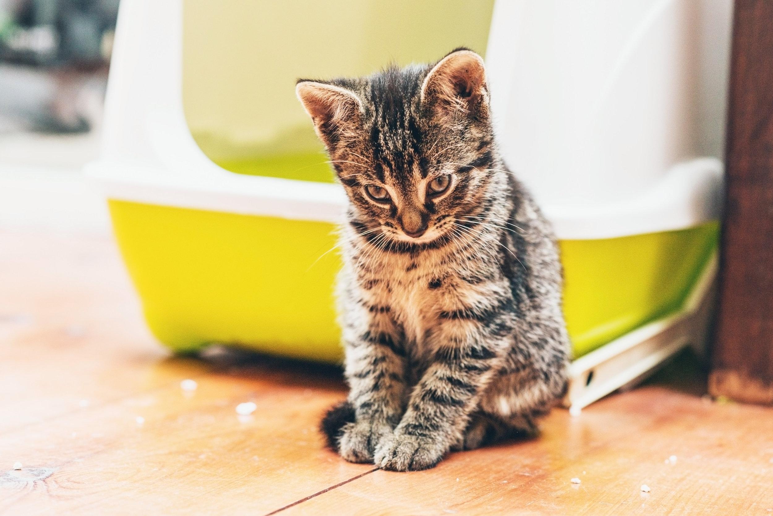 cat pee floor bed couch rug urine