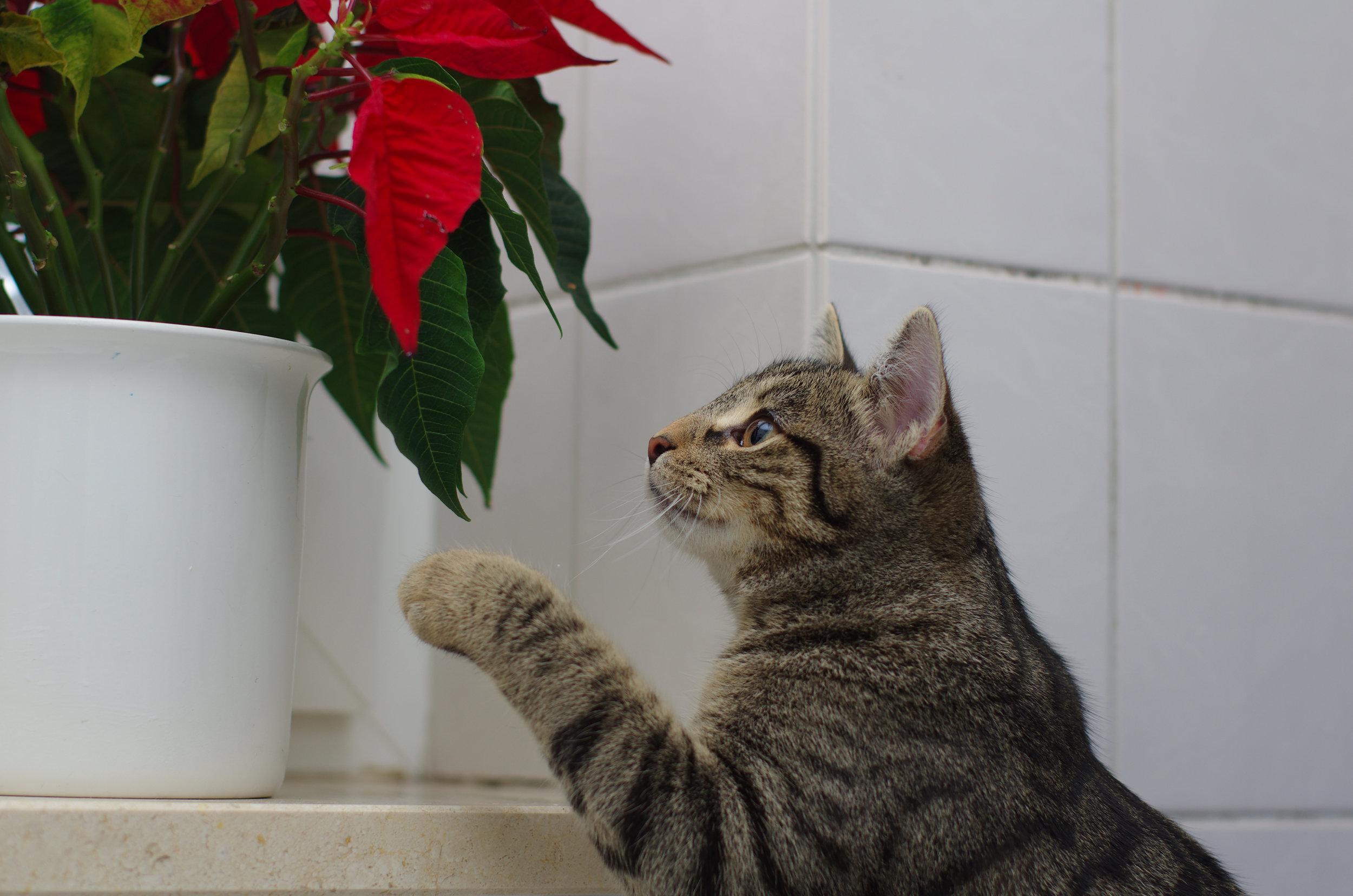 cat dangerous plant poinsettia.jpg