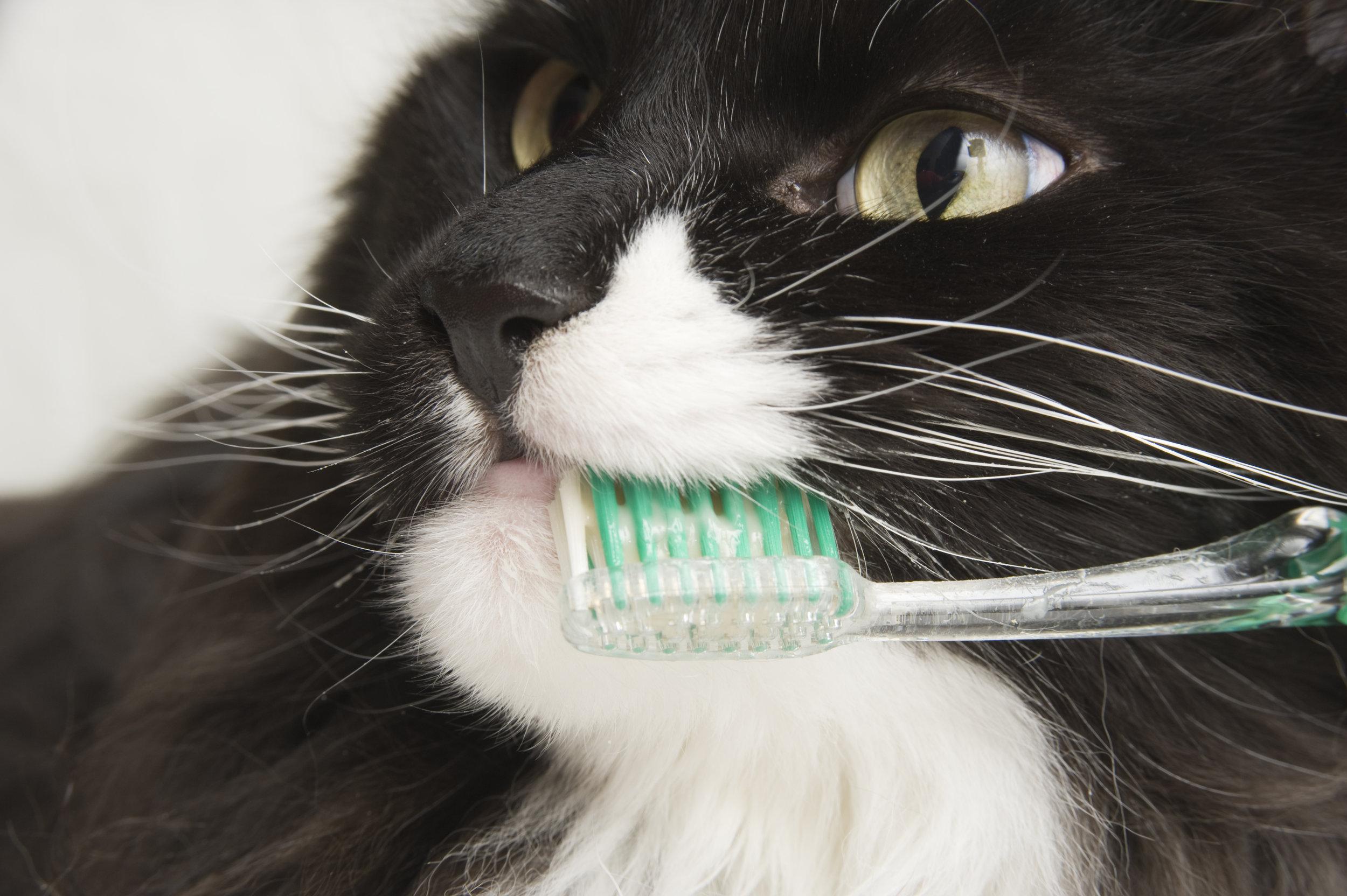 cat teeth toothbrush.jpg