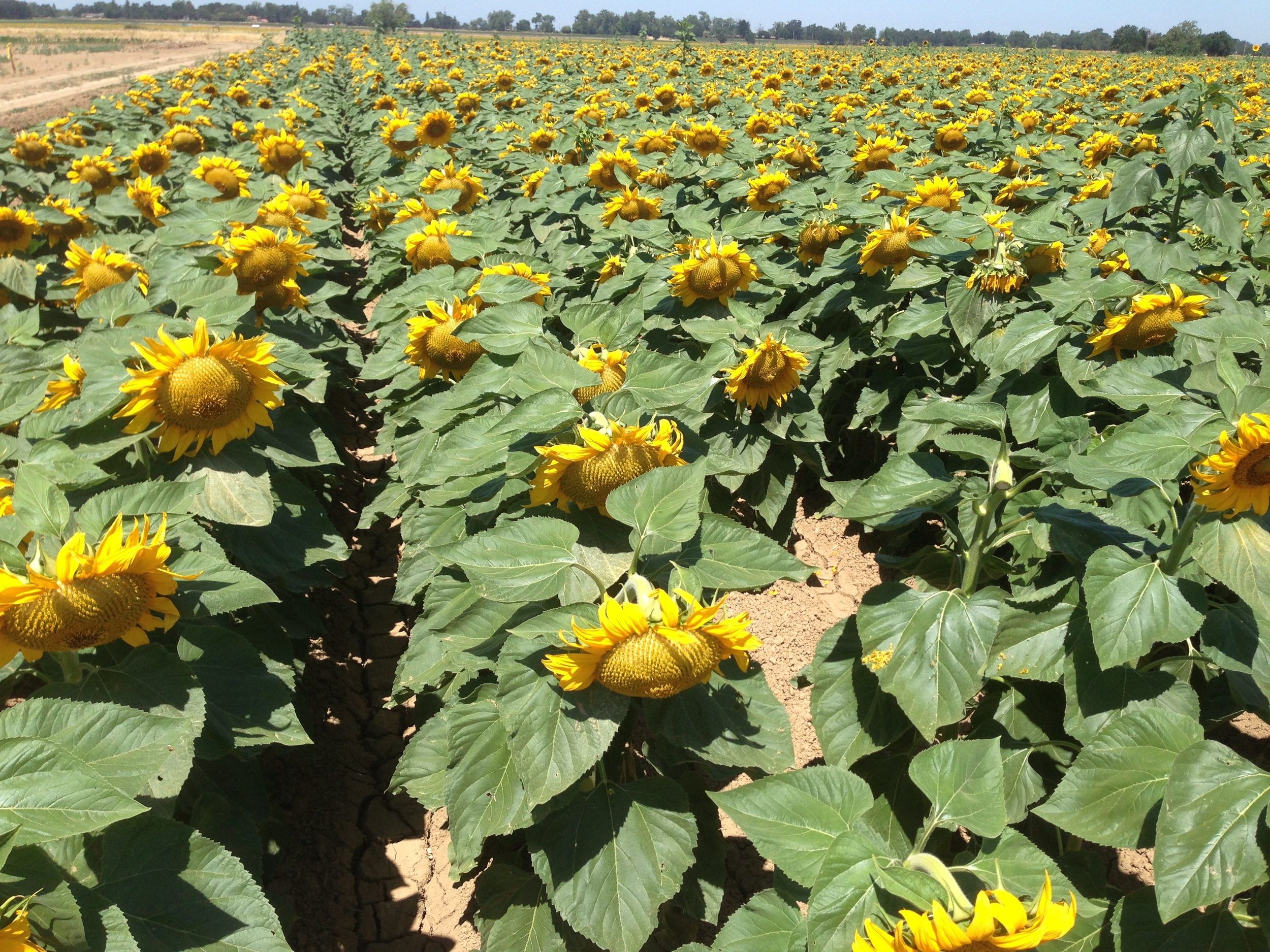 California GreyStripe sunflower is grown by some of California ' s best farmers, recognized globally for producing high quality fruits, vegetables, nuts and seeds.