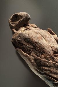 Mummified falcon. Queensland Museum.