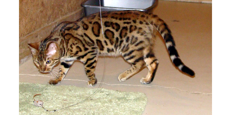 Ch A-Kerr's Captivate and A-Kerrs Novatron born September 21, 2014  ! male, 3 females (2 spotted/1 marble)