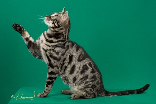 CH Sephora's Roebling of Pouncing Paws
