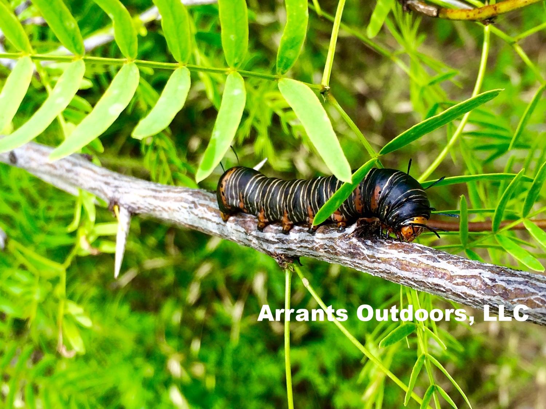Wilson's Wood Nymph (Xerociris wilsonii) caterpillar on Honey Mesquite tree (Prosopis glandulosa) limb.