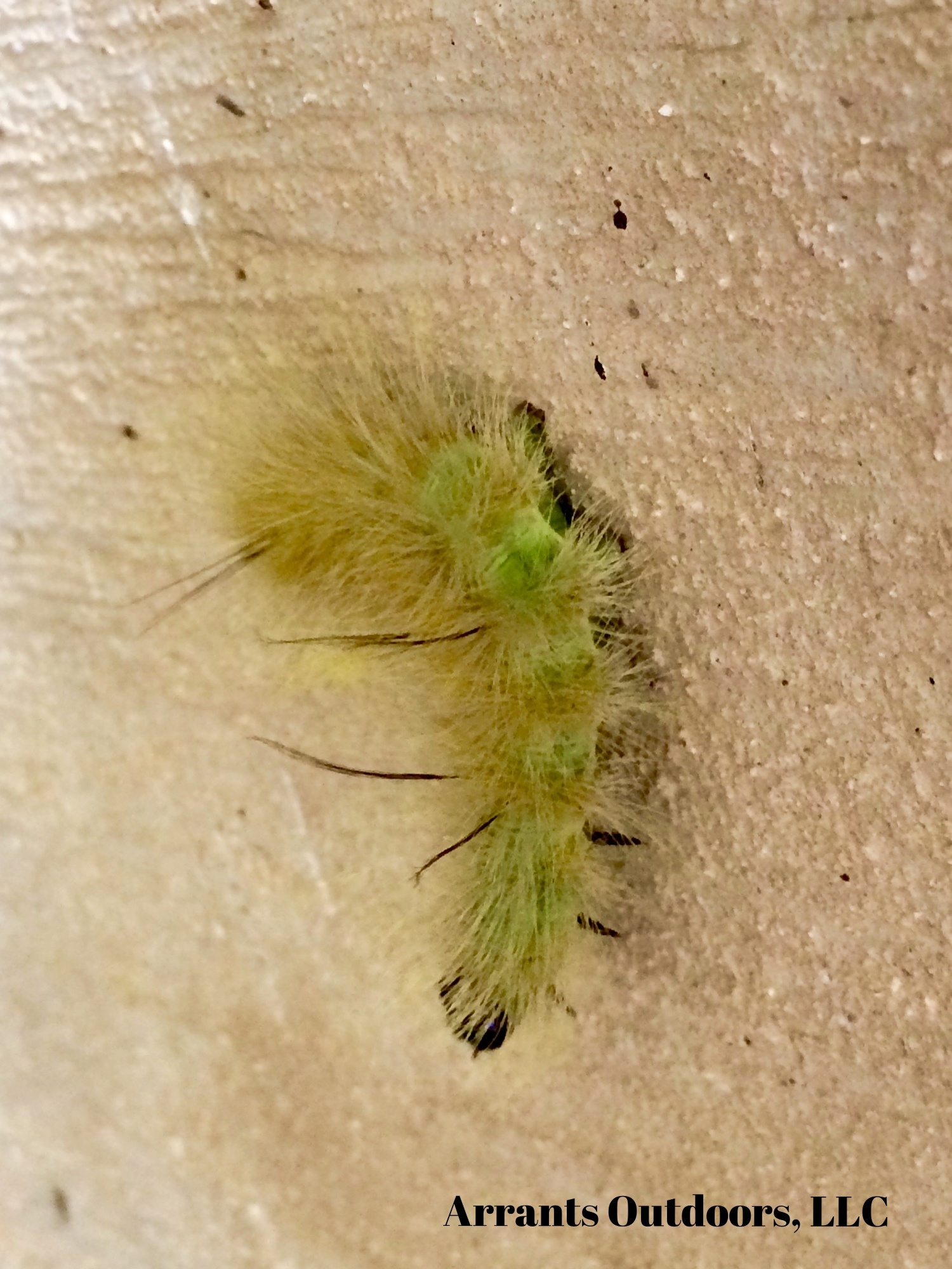 Notice the black tufts, pairs beginning at A1, then A3 and the single tuft at A8..  When you see that, you can immediately identify this caterpillar as an American Dagger Moth (Acronicta americana) caterpillar. (Click to enlarge)