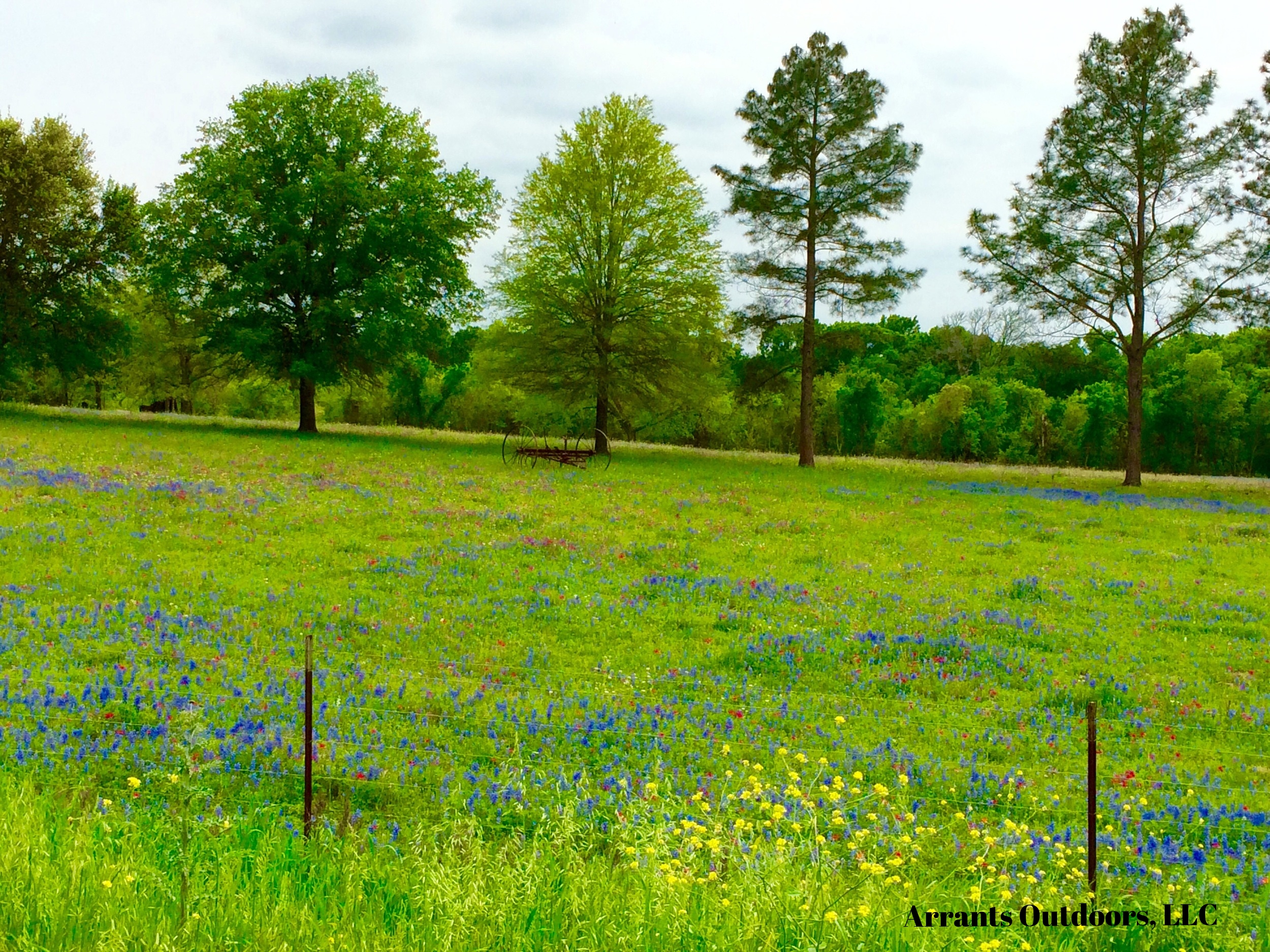 Forgive me, but I thought I'd get a little artistic with this photo to relay a little of the sheer wonder and beauty of a simple scene of rural hill country Texas.  Striking small pasture filled with Texas Bluebonnets and Texas Paintbrushes... Bonnets and Brushes.                                  ( Click on photo to enlarge)