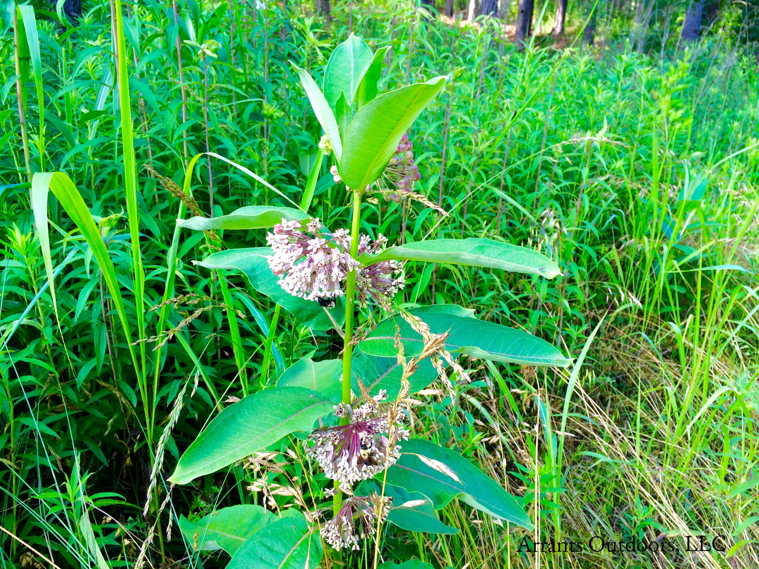 Common Milkweed (Asclepias syriaca) blooming trailside.  (Click to enlarge)