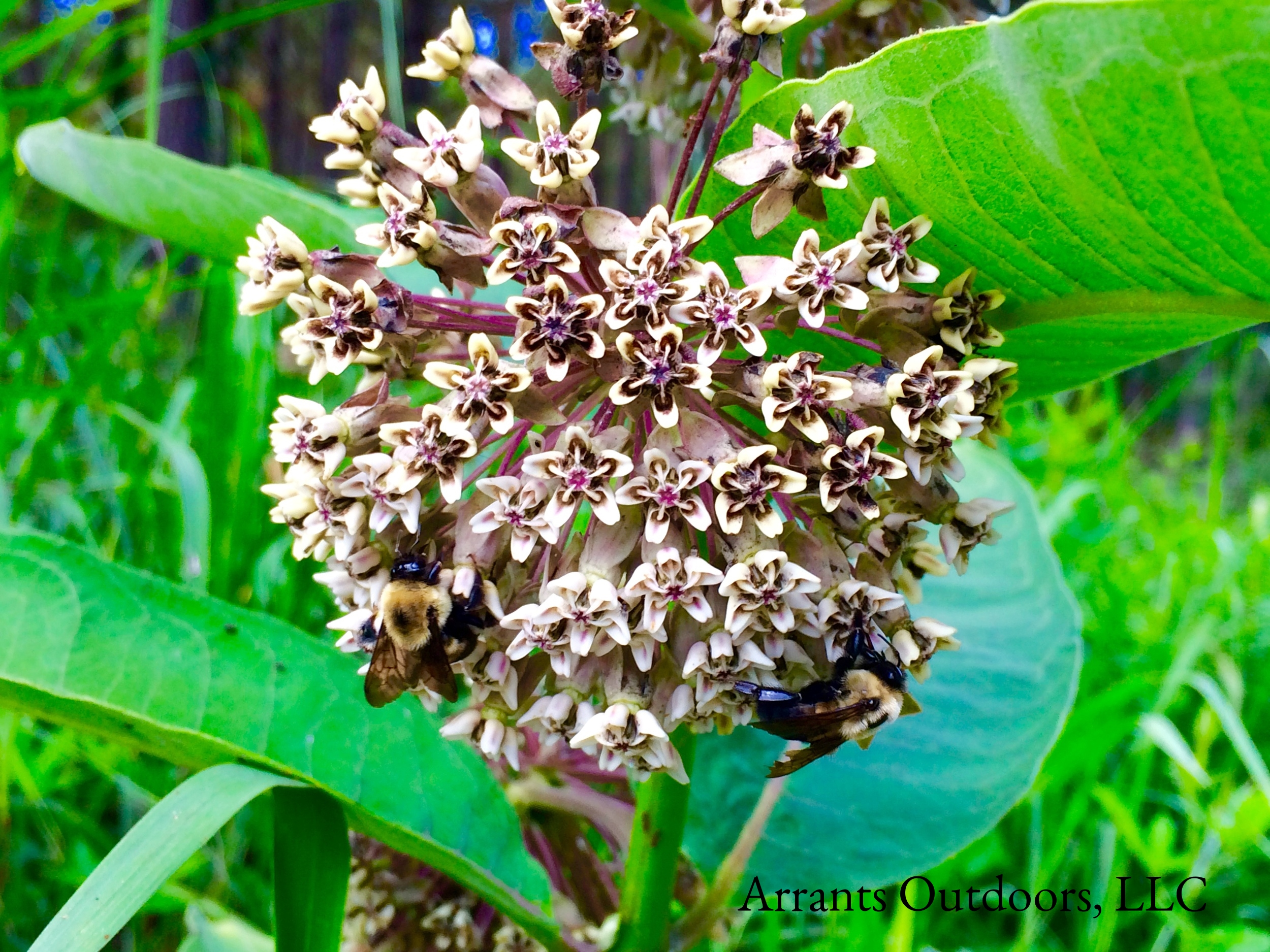 Two Eastern Carpenter Bees (Xylocopa virginica) on Common Milkweed (Asclepias syriaca).  (Click to enlarge)