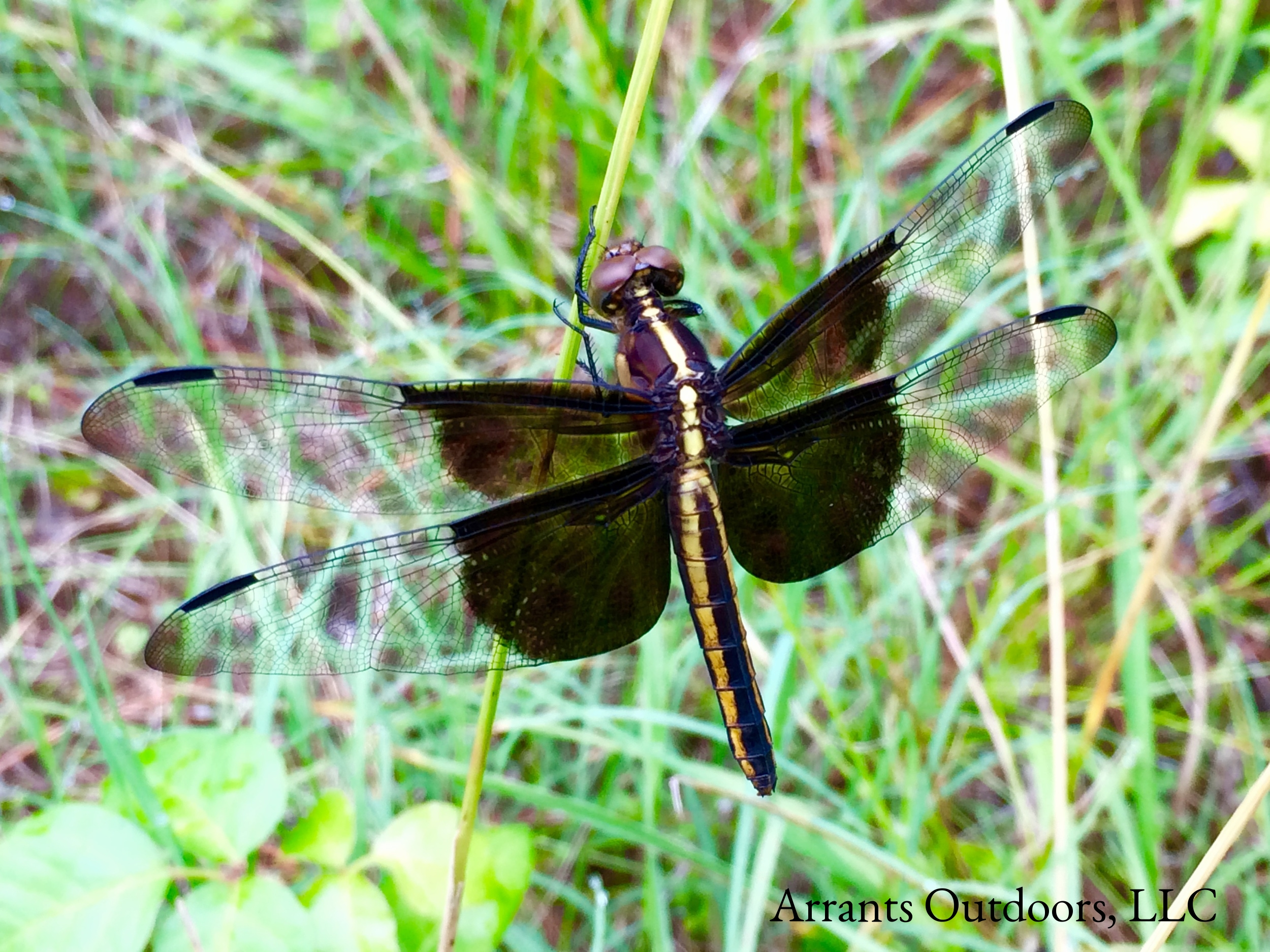 Female Widow Skimmer dragonfly (Libellula luctuosa).  (Click to enlarge)