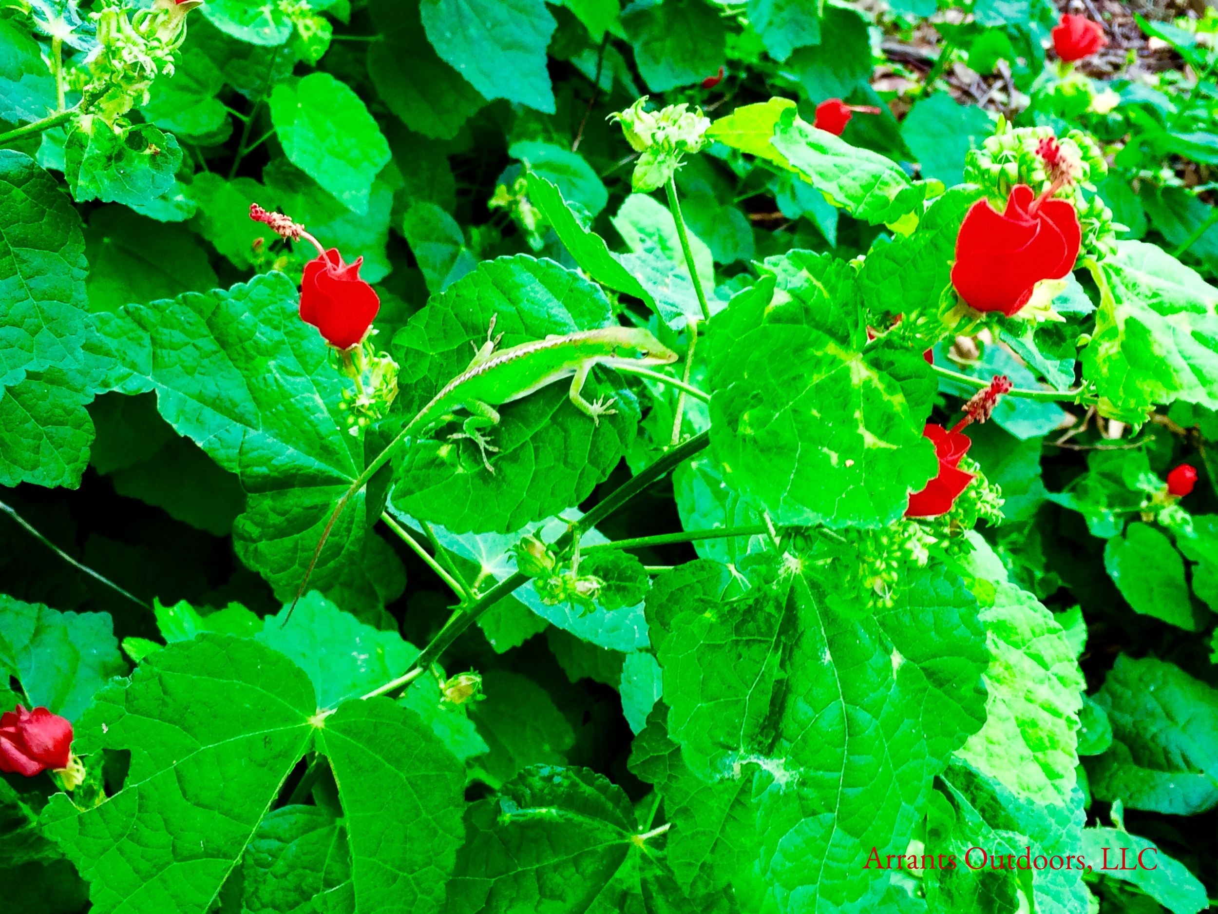 Turk's Cap (Malvaviscus arboreus var. drummondii) is a pollinator favorite and can bustle with insect activity.  This Carolina Anole (Anolis carolinensis) blends in with the greens of the leaves while it patiently waits for a meal. (Click to enlarge)