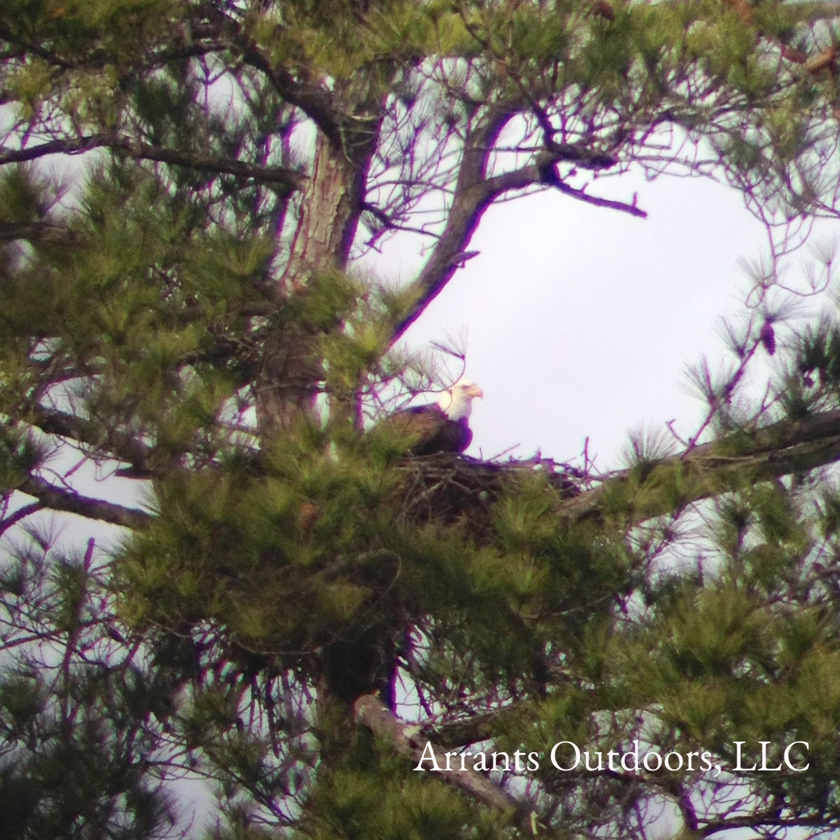 Bald Eagle on nest in SC. The adults at this nest made a very good living taking wintering gulls from nearby lakes and ponds (and even a landfill). Photo taken 12/31/13