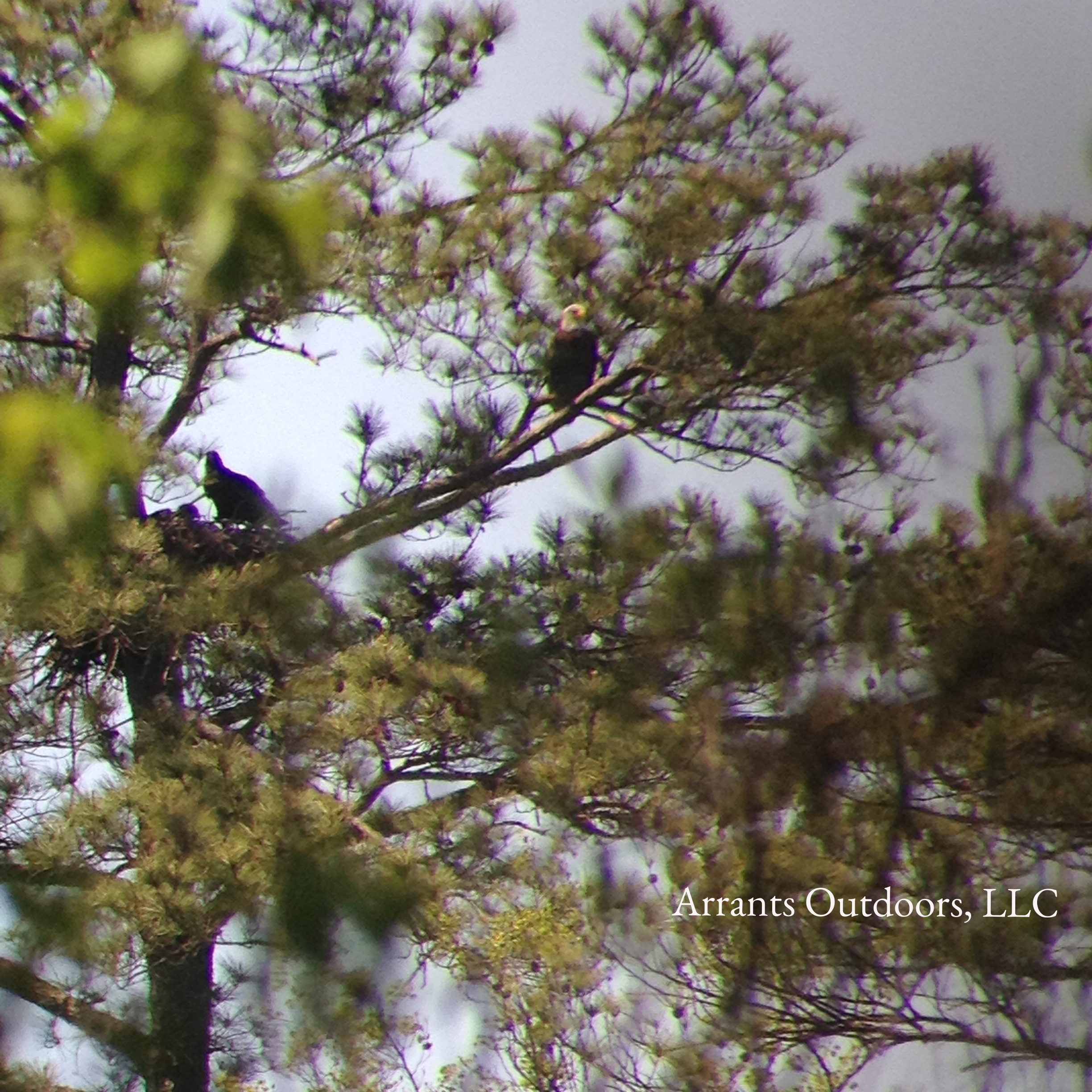 Adult Bald Eagle sits alert out on a limb, while two nestlings (one sits on the rim of the nest and one sits down inside the nest) wait for the other adult to bring the next meal. I watched the nestlings exercising their wings before the photo was taken. They fledged four weeks later, taking to the sky with the adults. Photo taken 4/12/12