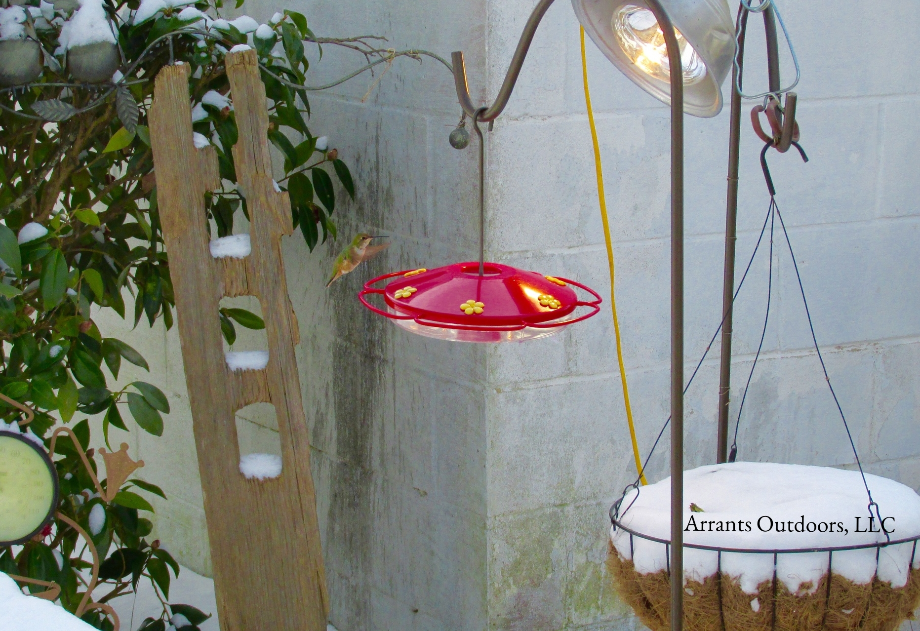 Rufous Hummingbird (Selasphorus rufus ) at feeder in the snow. A heat lamp and fresh nectar was provided throughout her accidental winter stay. Showing up in December 2013, she stayed until April 2014. (Click to enlarge)