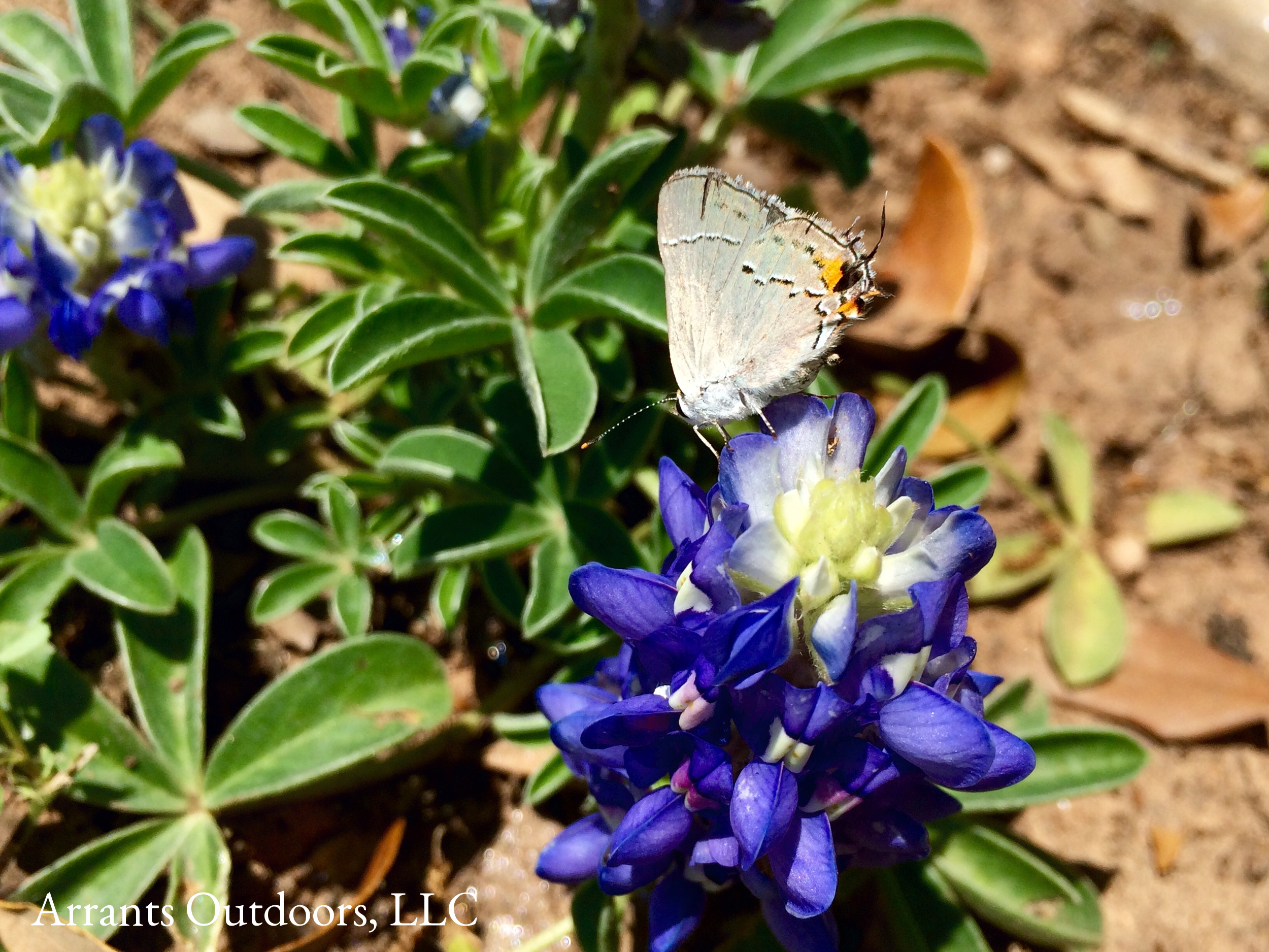 Gray Hairstreak (Strymon melinus) on Texas Bluebonnet.