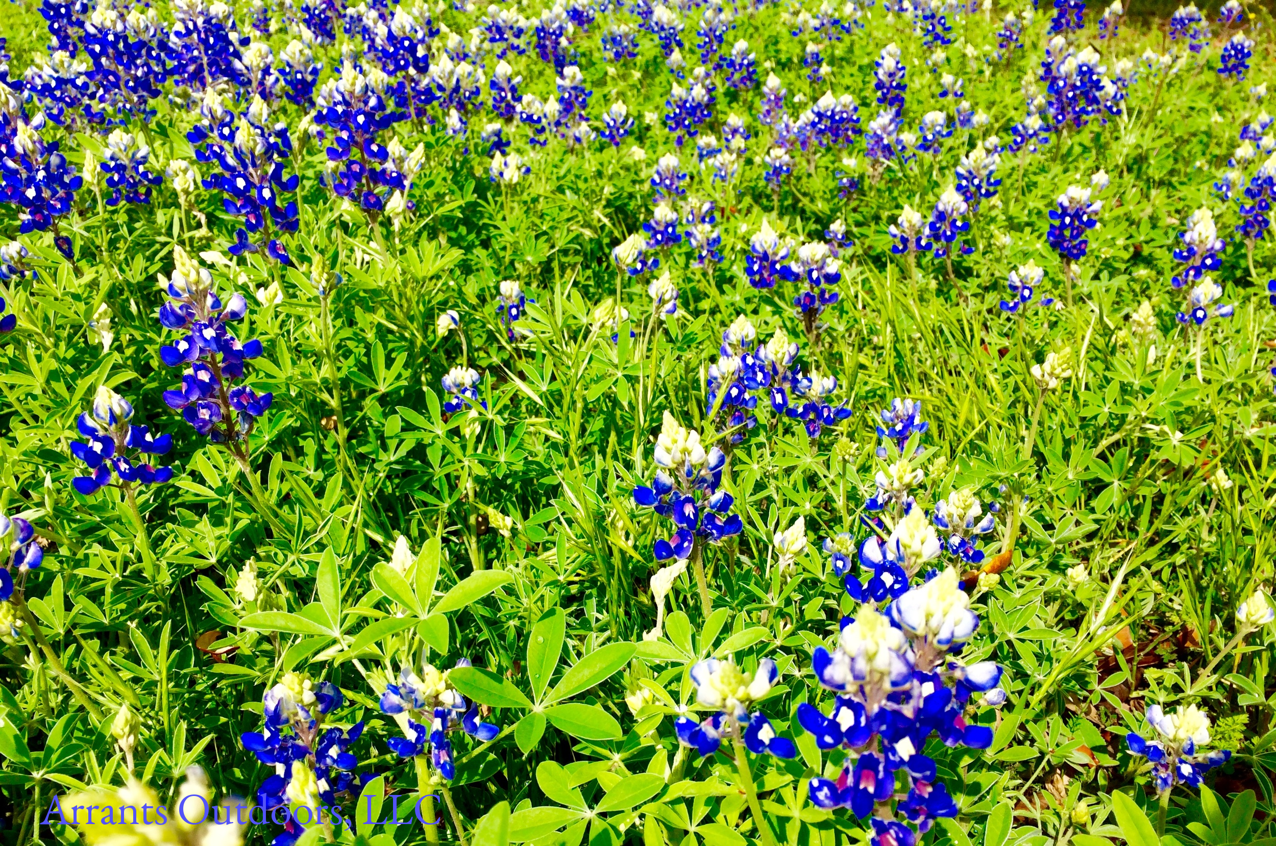 The deeper blues and palmately compound leaves of the Texas Bluebonnet (Lupinus texensis).