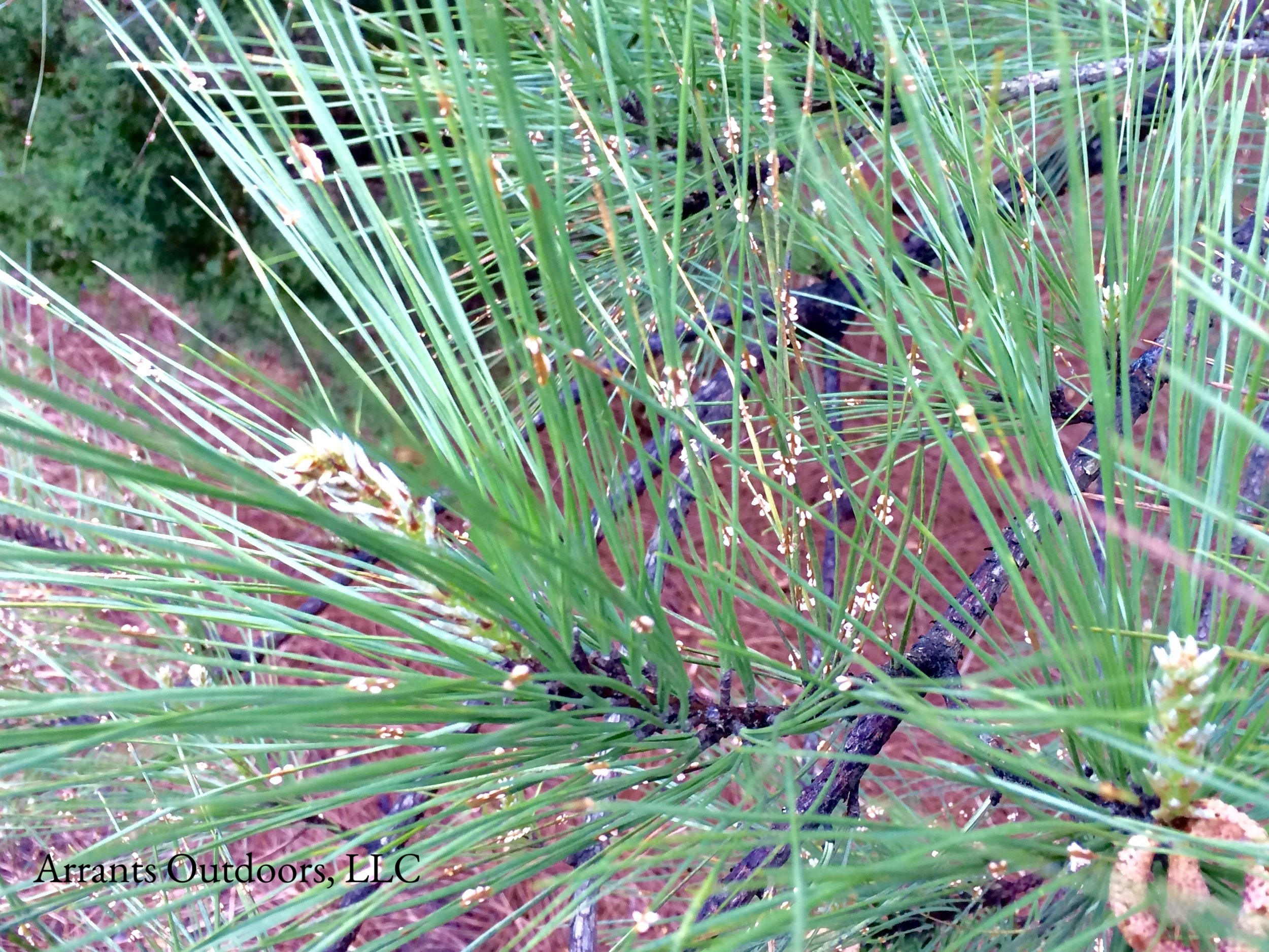Pine Needle Rust (Coleosporium sp.) blisters found on the needles of Loblolly Pine (Pinus taeda).