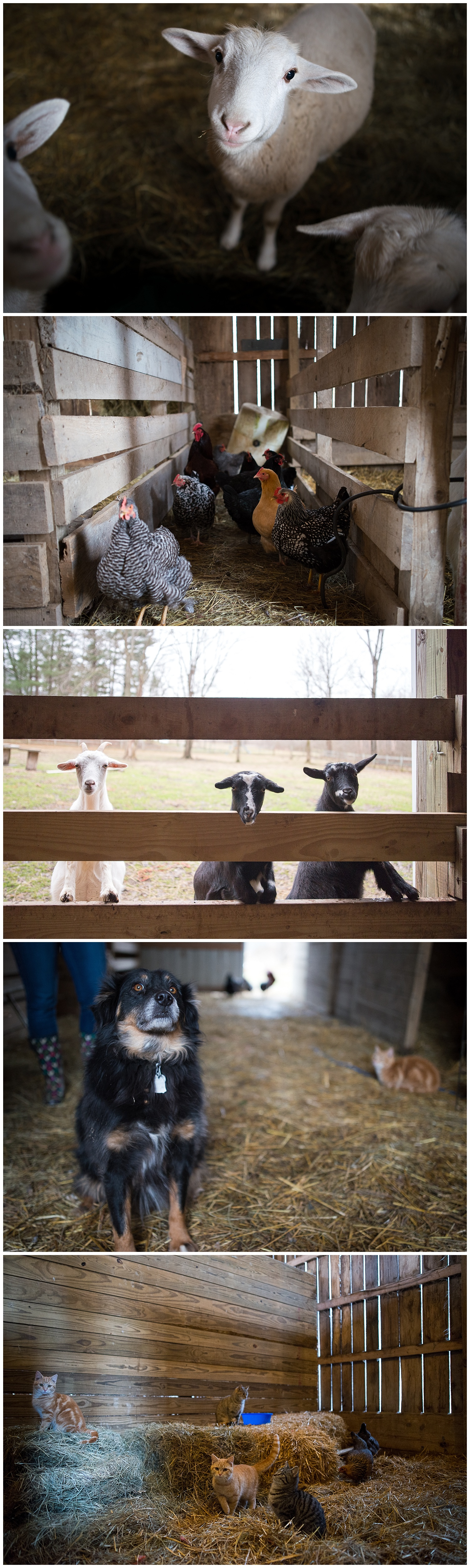 In the barn.  Two of the lambs will be going to slaughter soon, she's presently renting a stud goat and in addition to all you see here she raises pigs in the summer.  The chickens are for the eggs and the cats and Jeff the dog are to entertain the children.