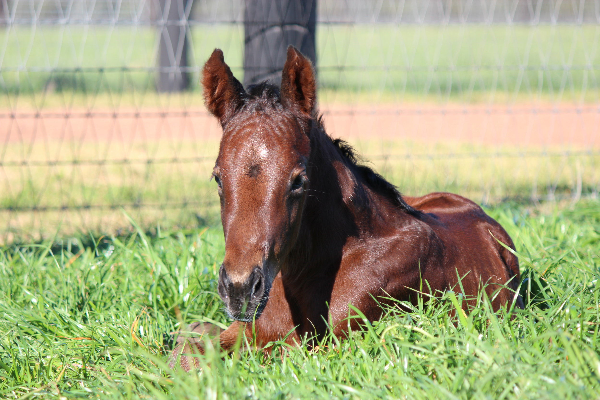 First foal of the season, the Written Tycoon x Obsidian Dragon filly foaled August 1.