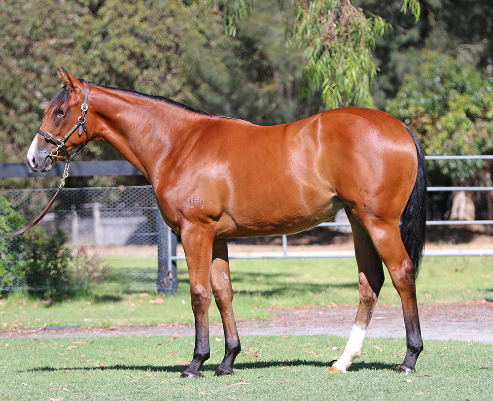 Lot 636: Bay Filly, Not A Single Doubt x Court Pastoral (GB), by Mount Nelson