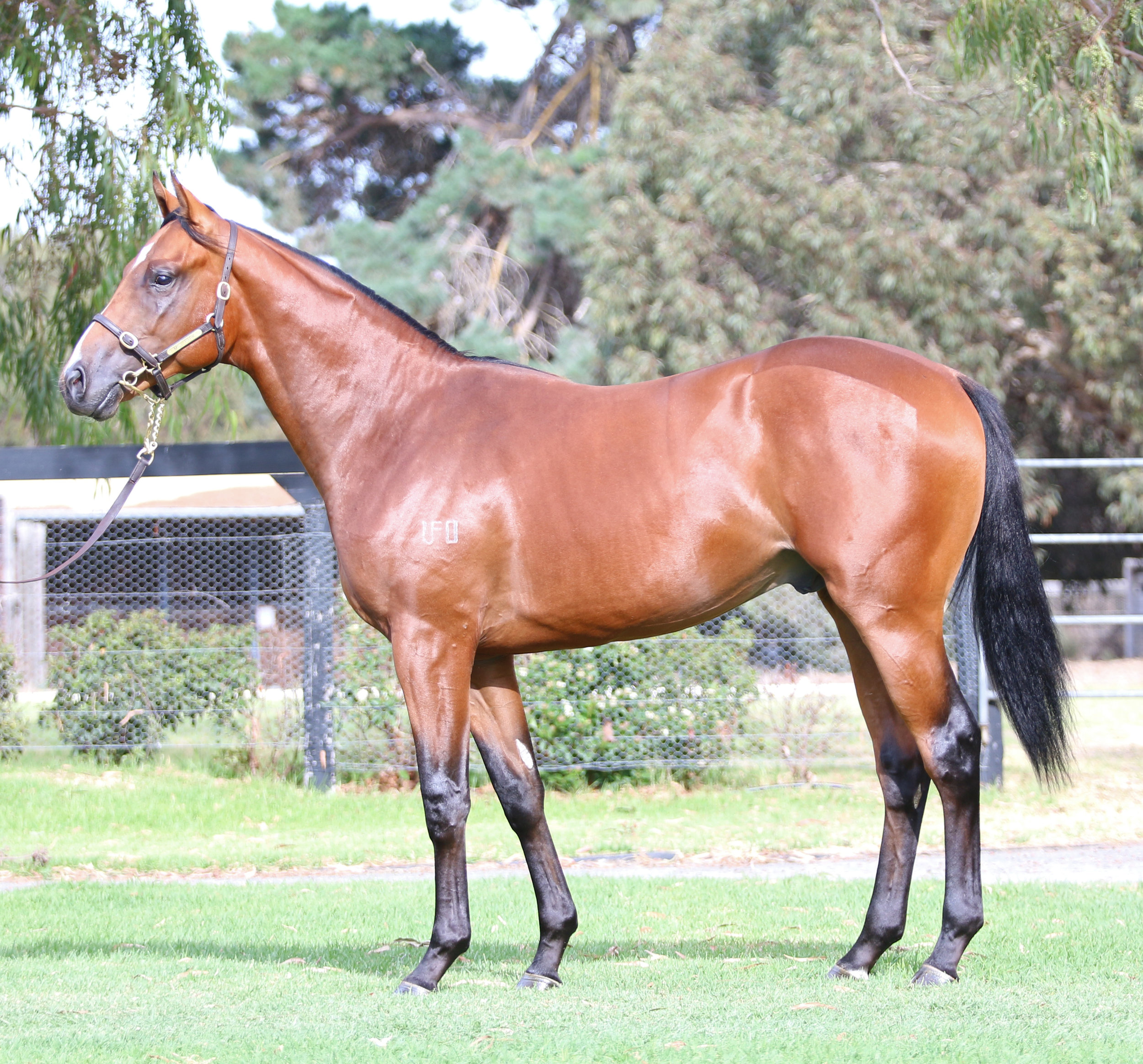 Lot 30 Fartoo Flashy Colt 2016.jpg