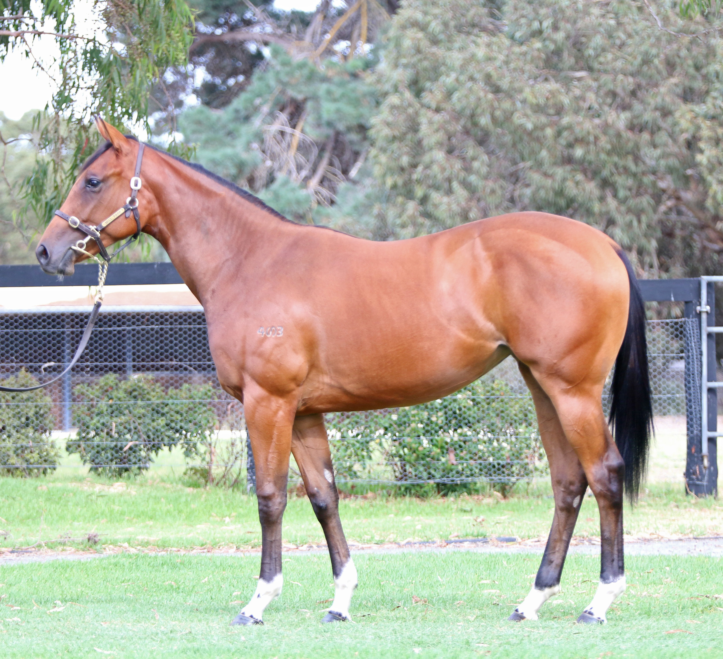 Lot 276 Anley Filly 2016.jpg