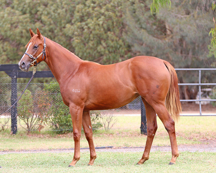 Lot 399 Zoustar x Ravenous Lass filly_low.jpg
