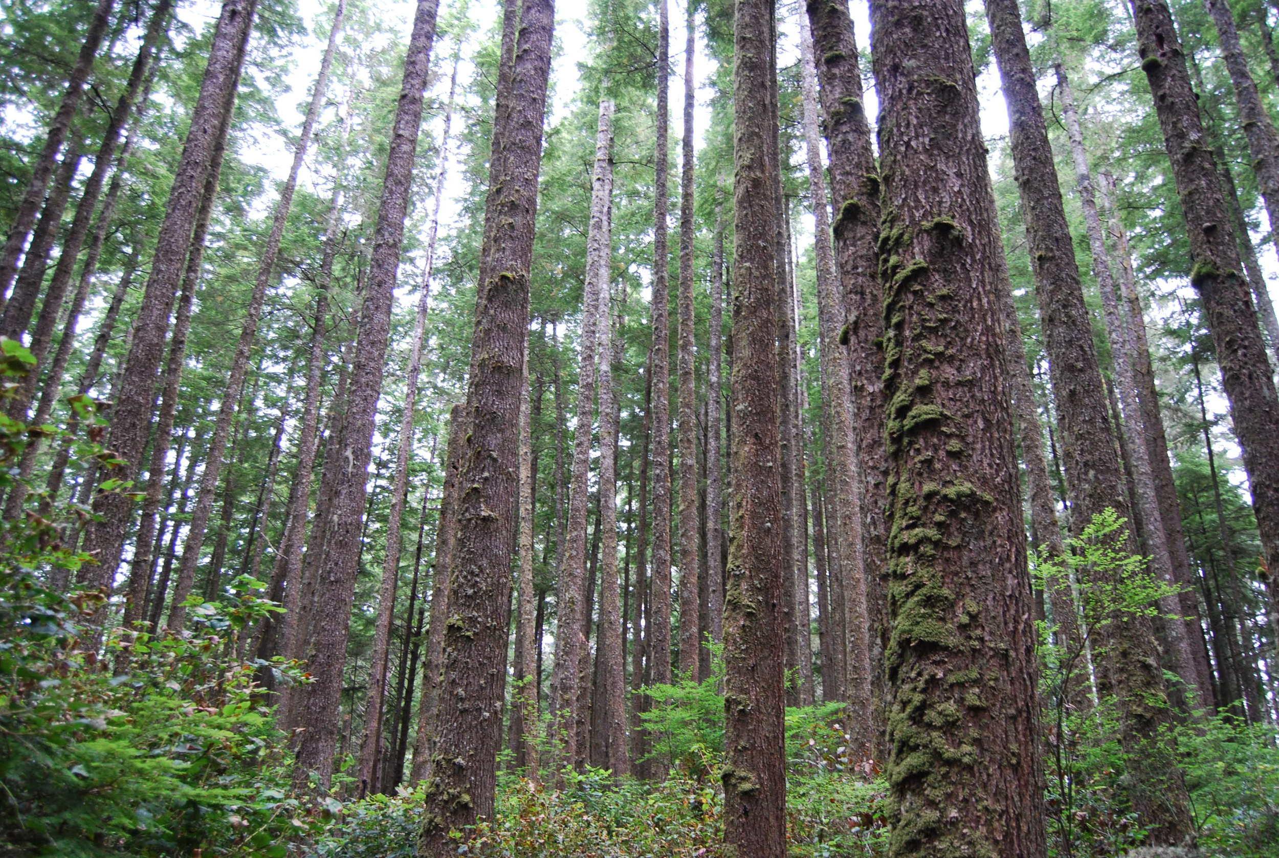 Lake Ozette Forest.jpg