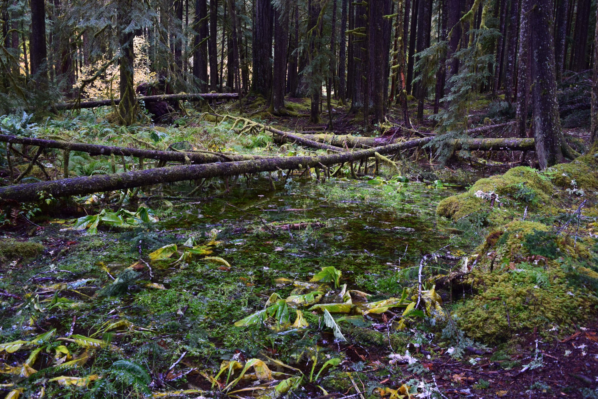 Ancient Groves Rain Forest.jpg