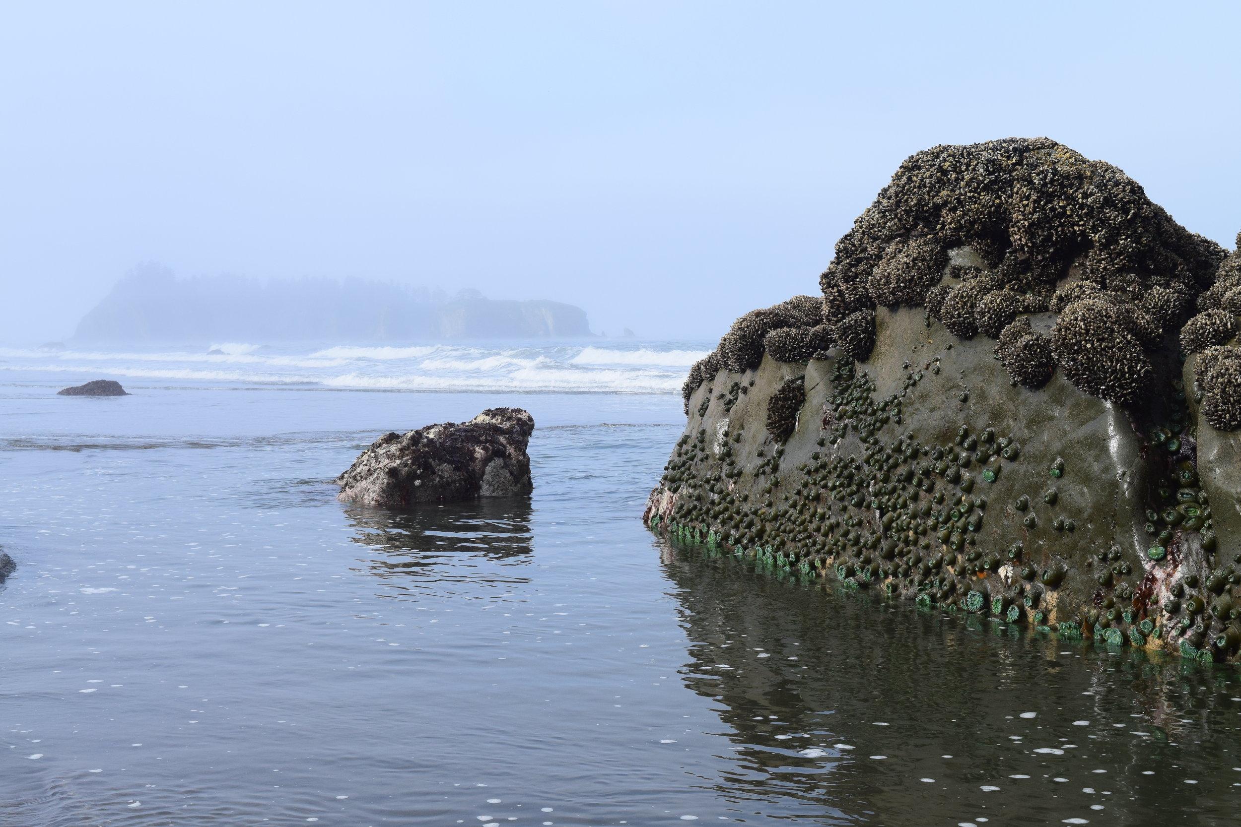 Tidepool Sealife along Rialto Beach