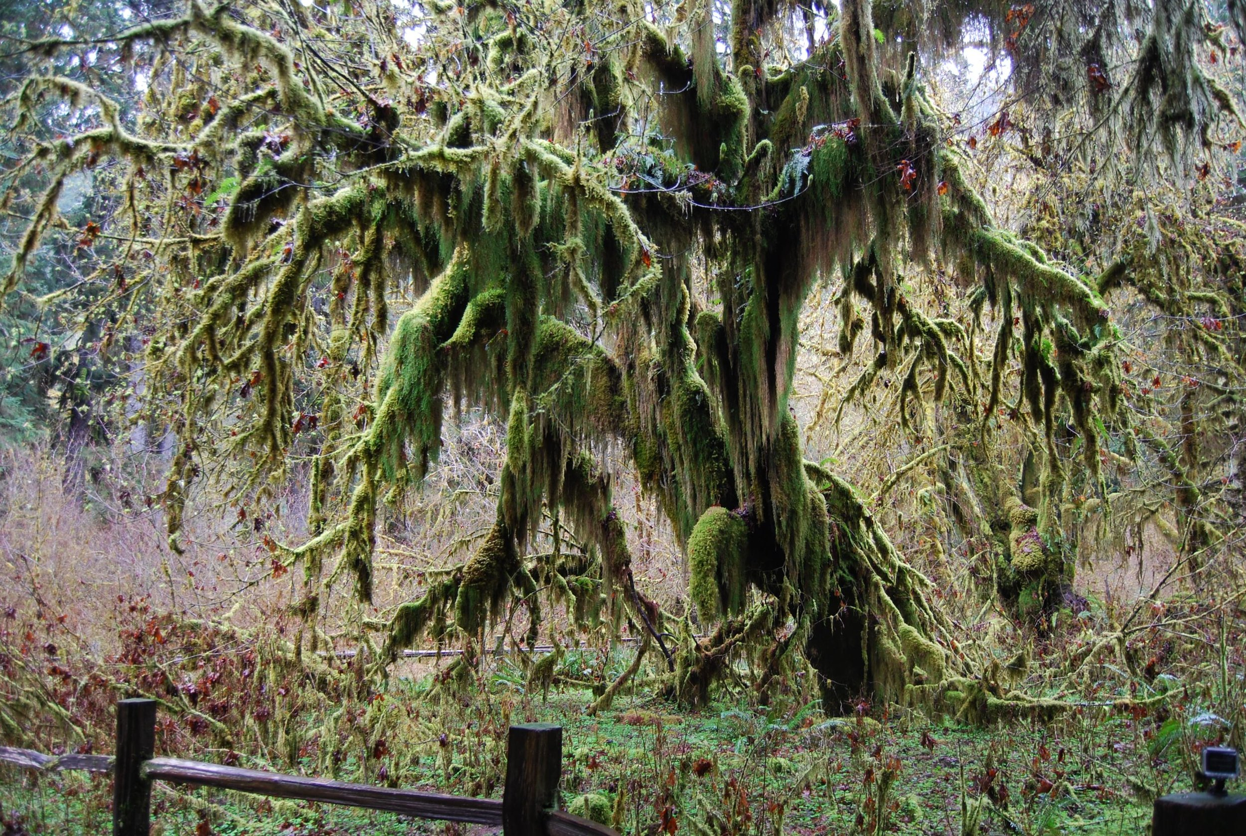 The Moss-Laden Maple in the Hoh
