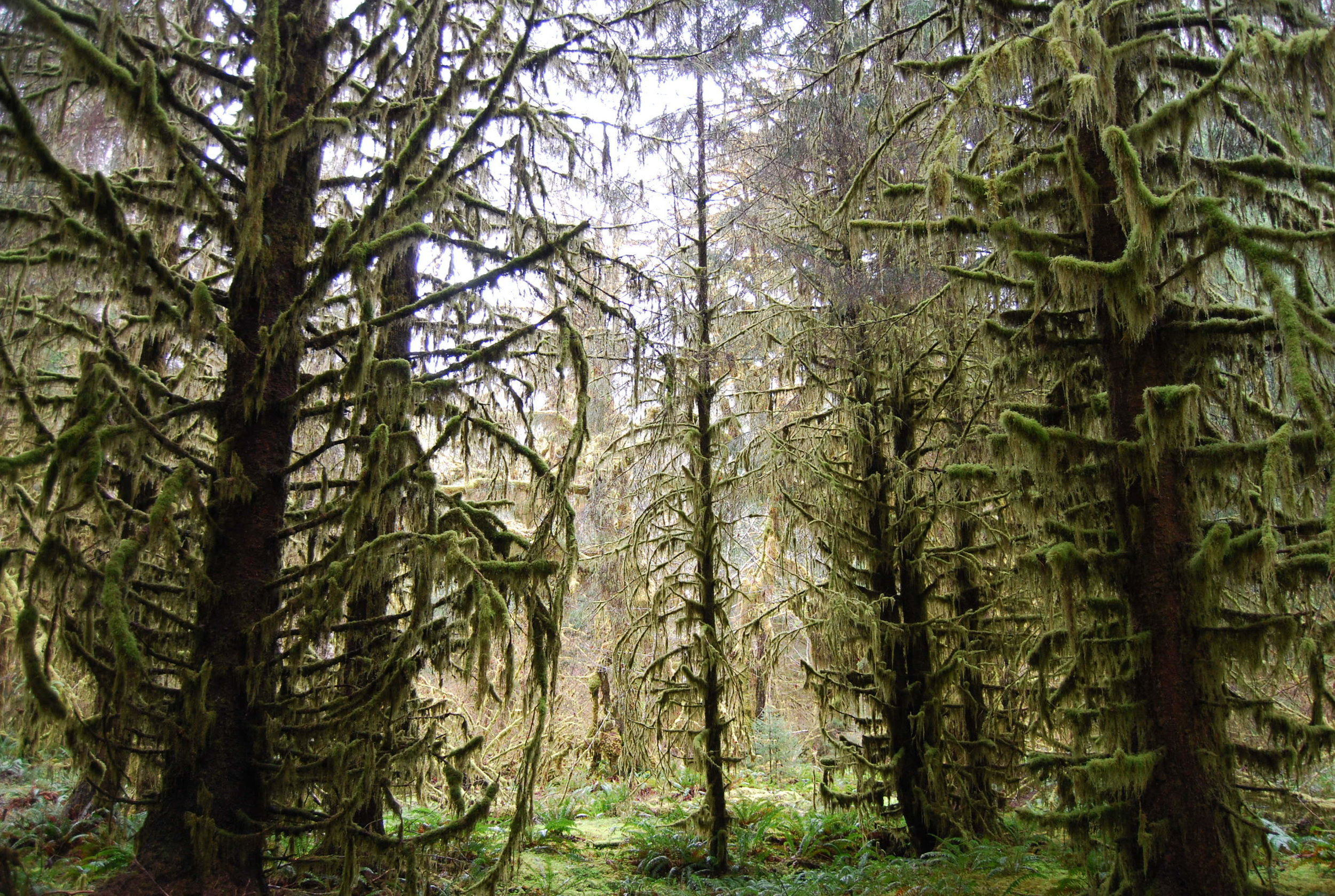 Towering Evergreens in the Hoh Rain Forest
