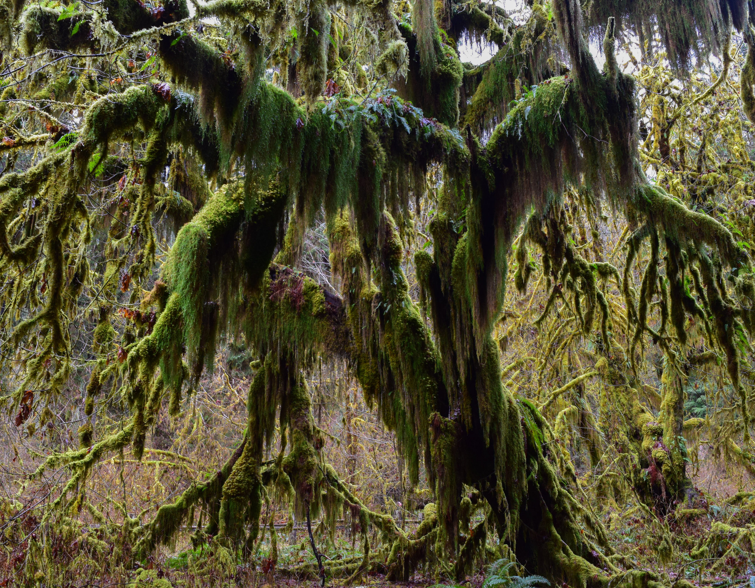 Hoh Rain Forest Maple Grove.jpg