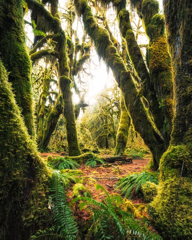 Hoh Rainforest in morning light by michael matti.jpg