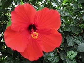 Hibiscus rosa-sinensis - Hibiscus