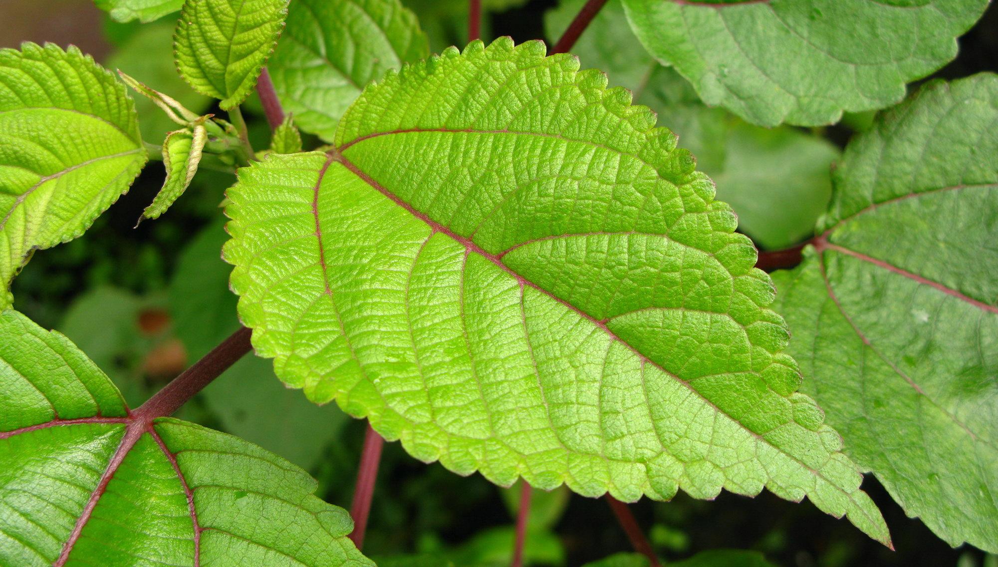 Pipturus albidus - Mamaki Leaf