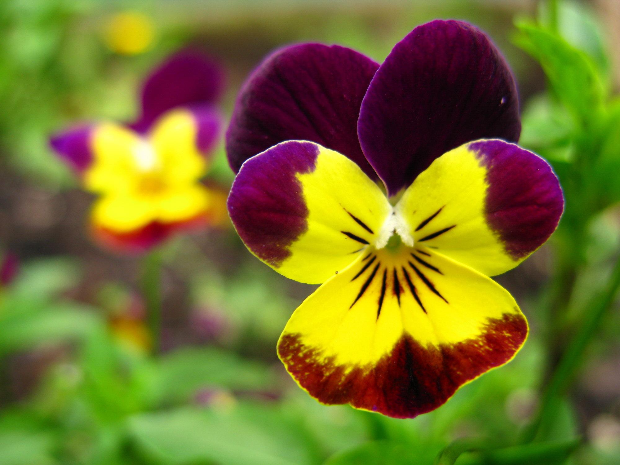 Viola tricolor - Violet leaf