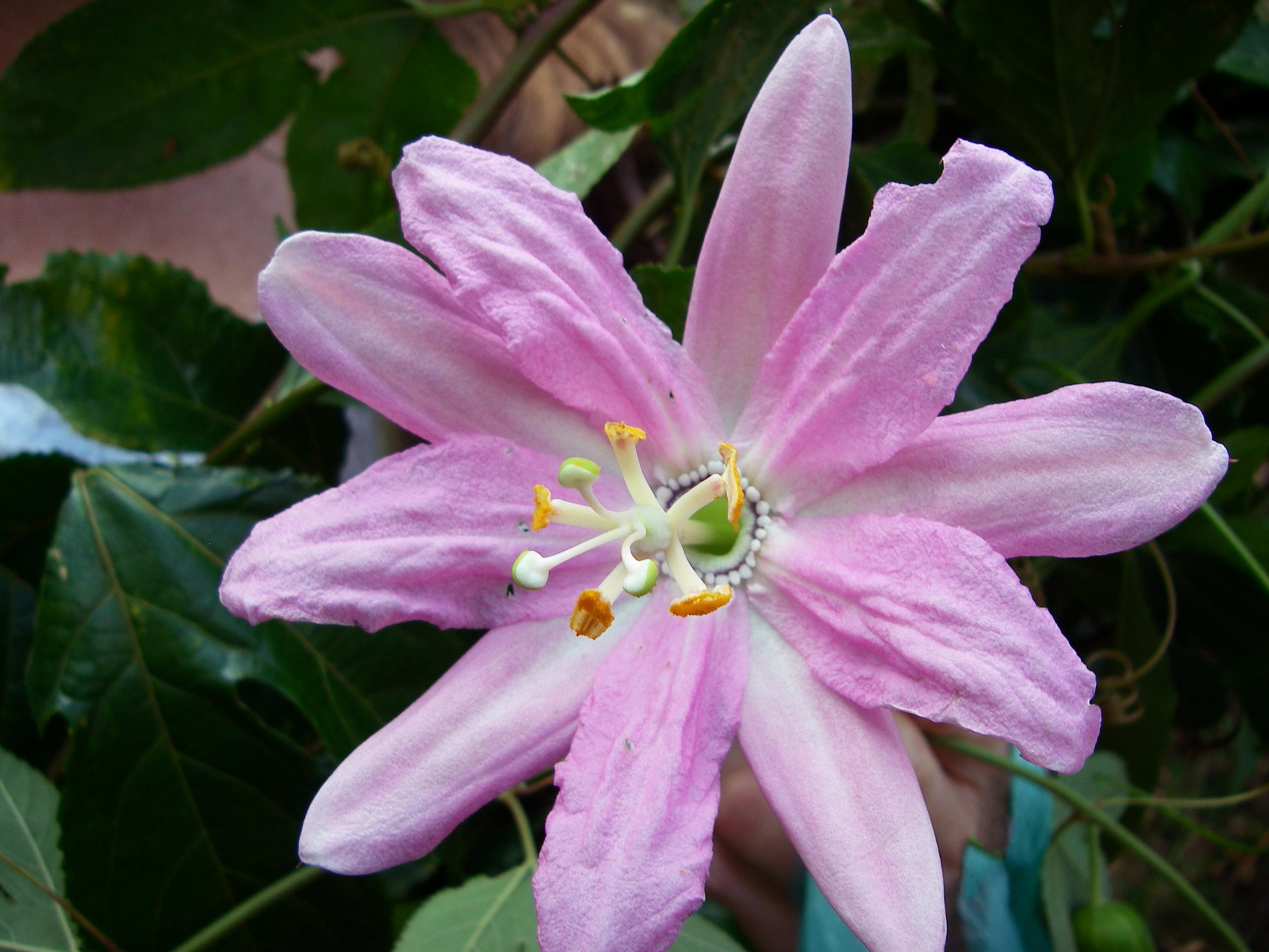 Passiflora loxensis - Passion Flower