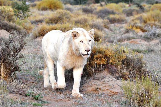 Sanbona-white-lion.jpg