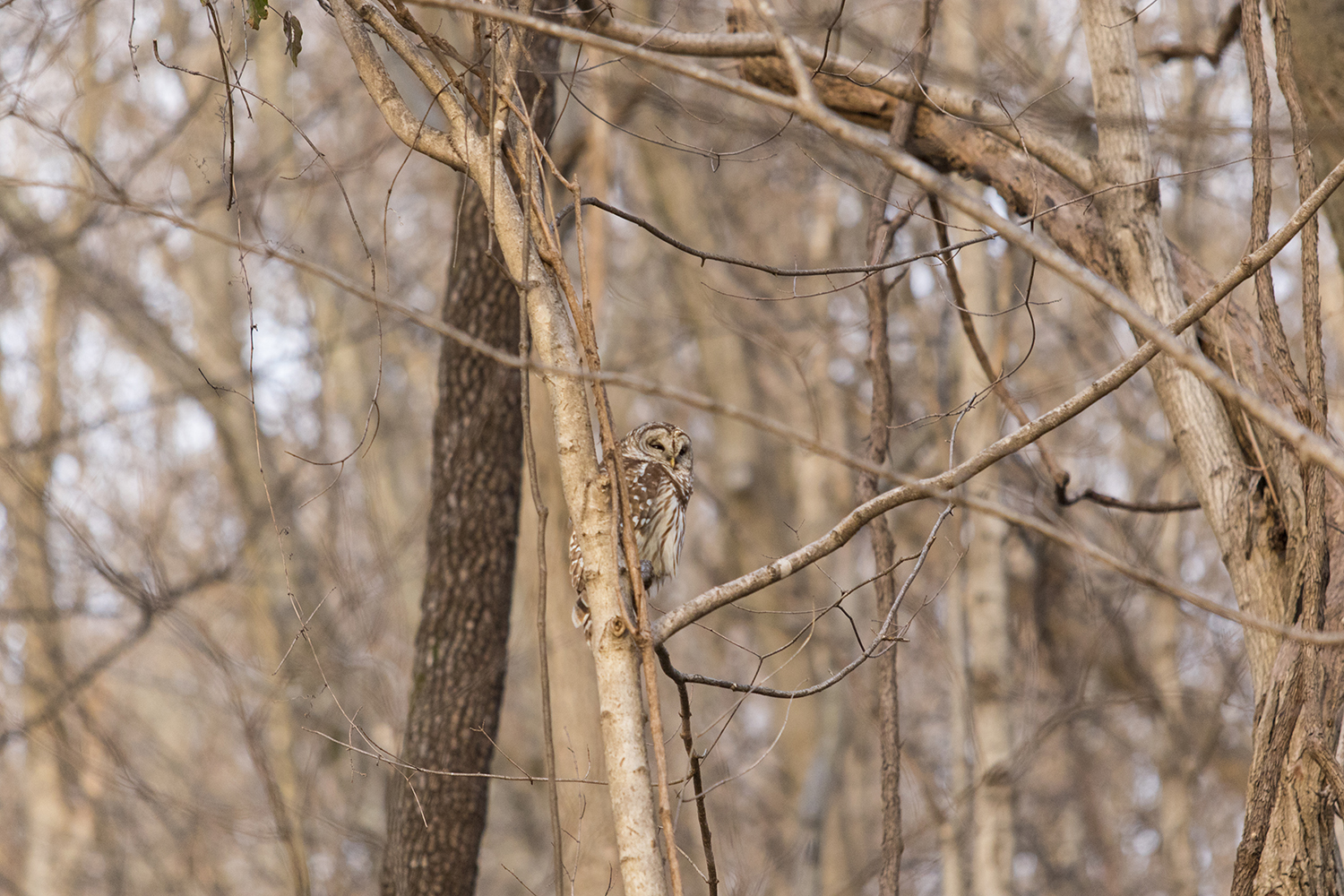 Owl in a tree blending nicely.