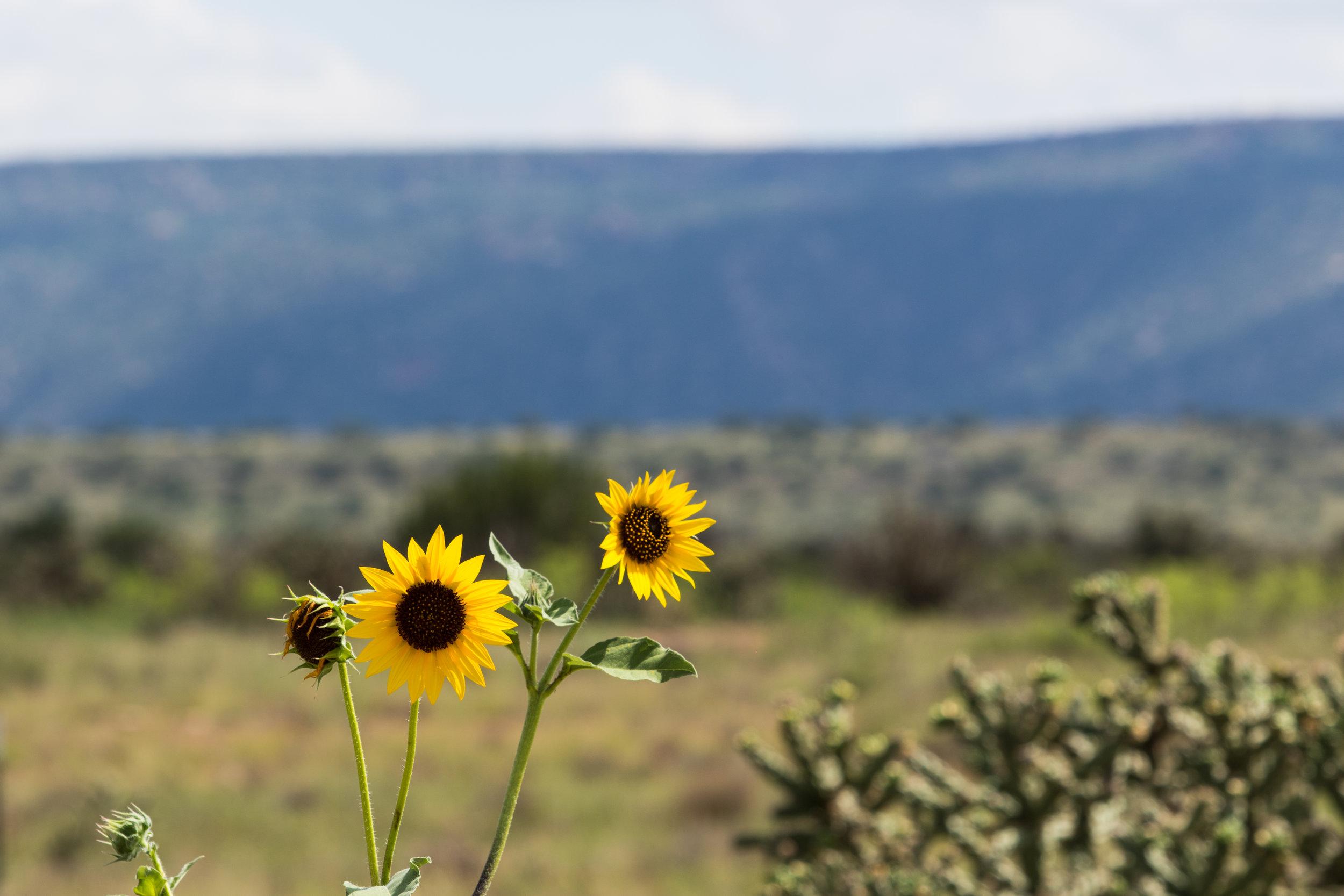 Road side sunflower