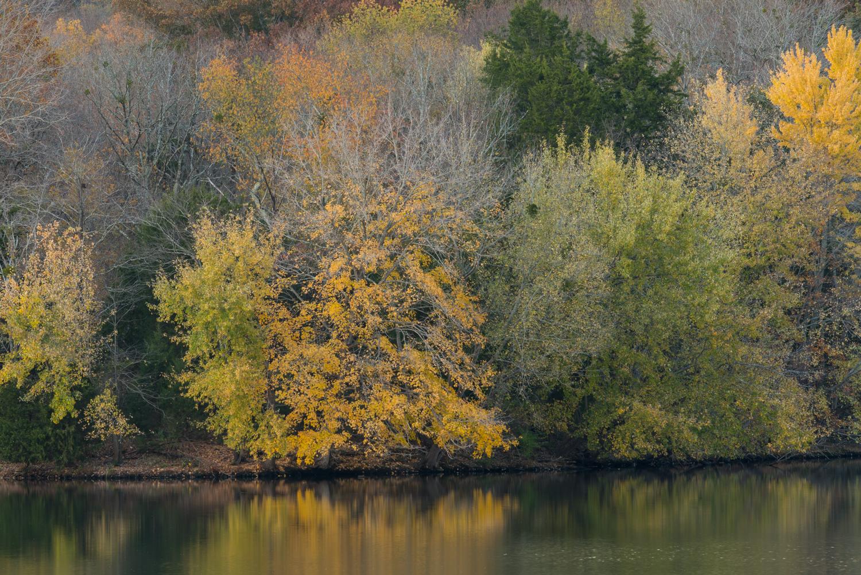 Yellow tree on the banks of Radnor Lake