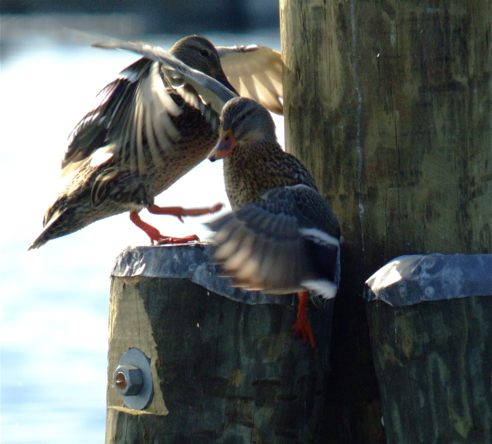 My First Digiscoped Image