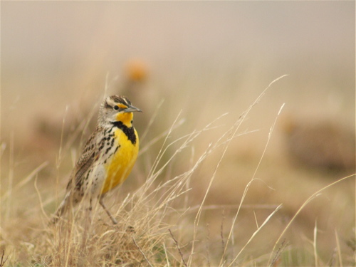 demanding-meadowlark1