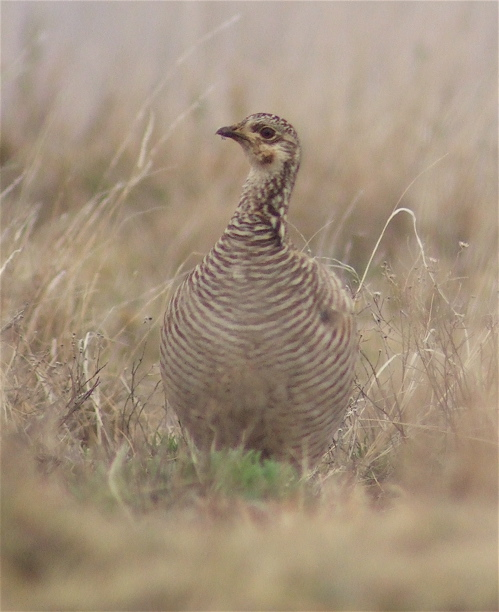 lesser-prairie-chicken-female