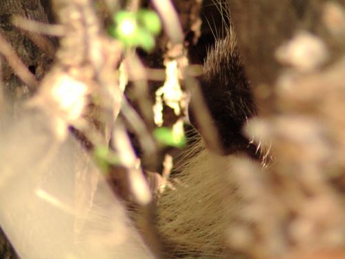 porcupine-nose