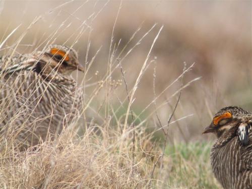 tired-prairie-chicken