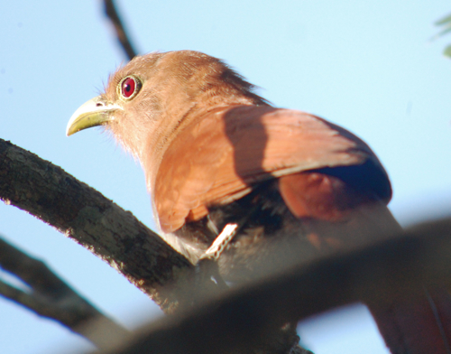 pan squirrel cuckoo