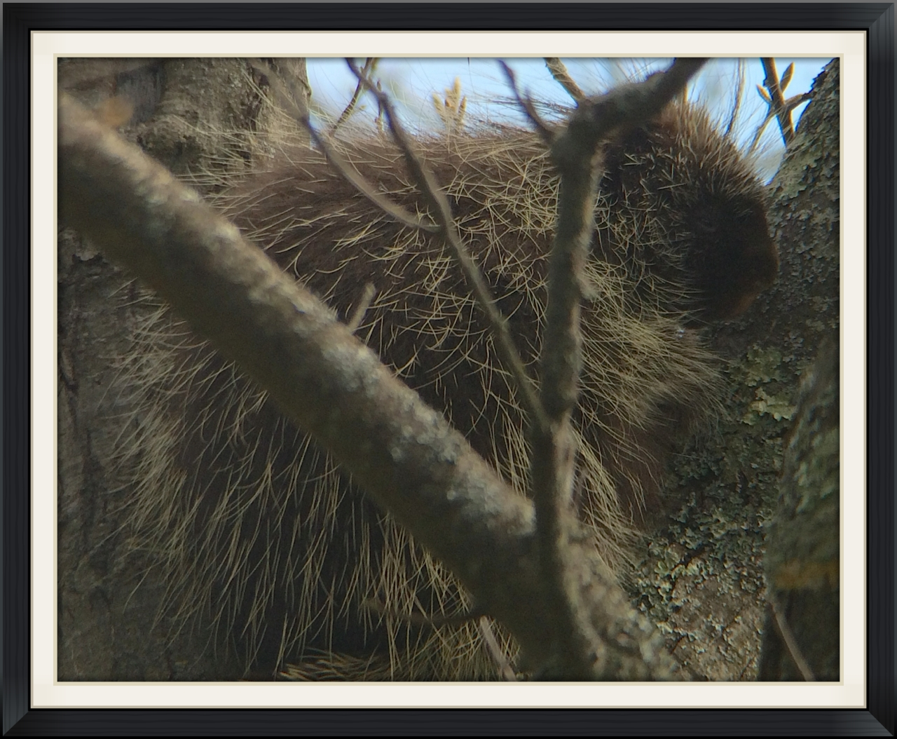 Porcupine found on the AuSable River Valley Trip.